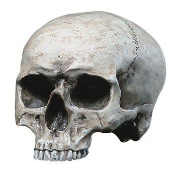 Menneskekranium